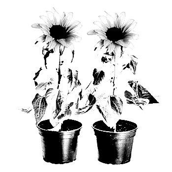 Plantas com Flor