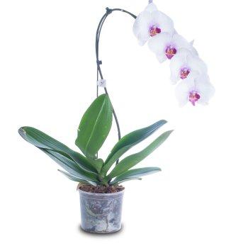 Phaleanopsis Cascata