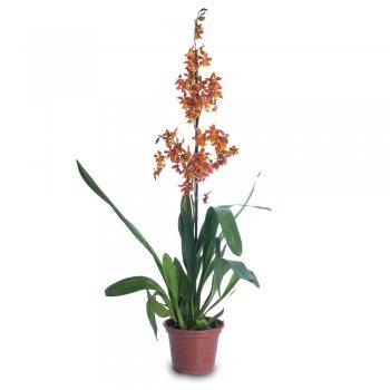 Orquídea Sharry Baby