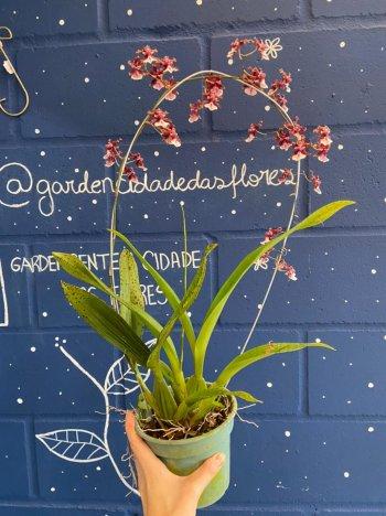 Orquídea Odontoglossum