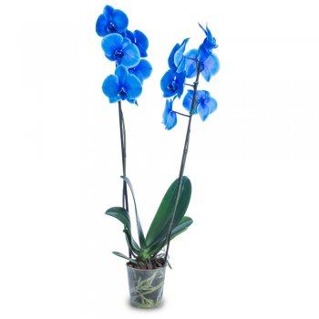 Phaleanopsis Azul